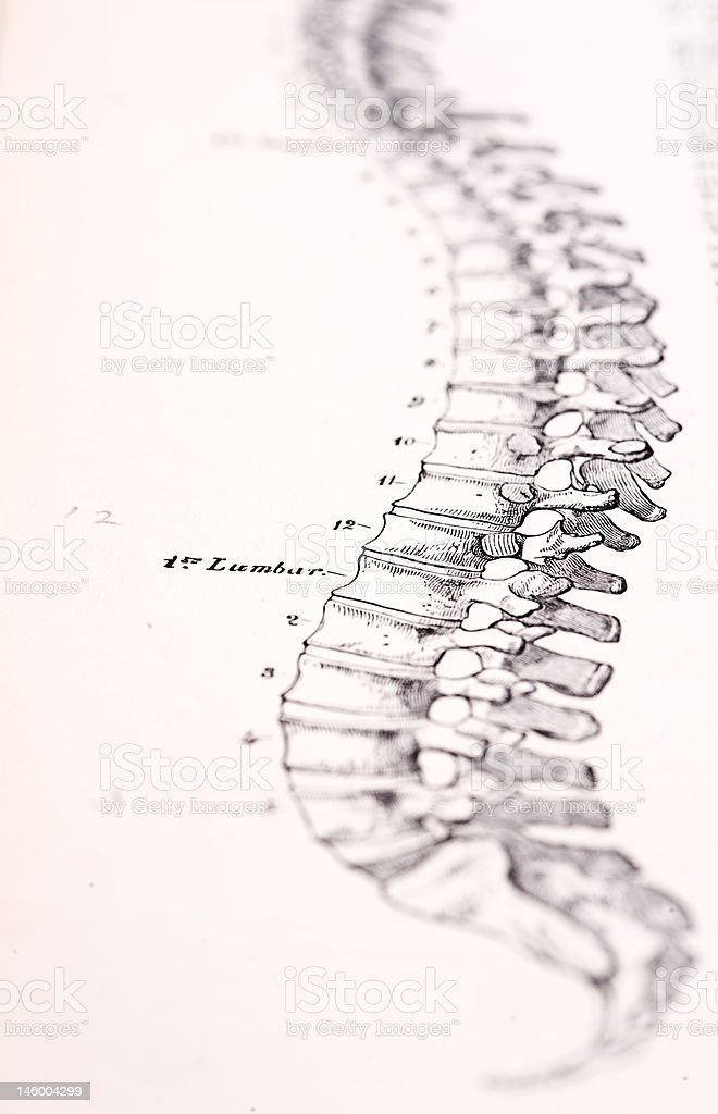 Antique Medical Illustration | Human Spine royalty-free stock photo