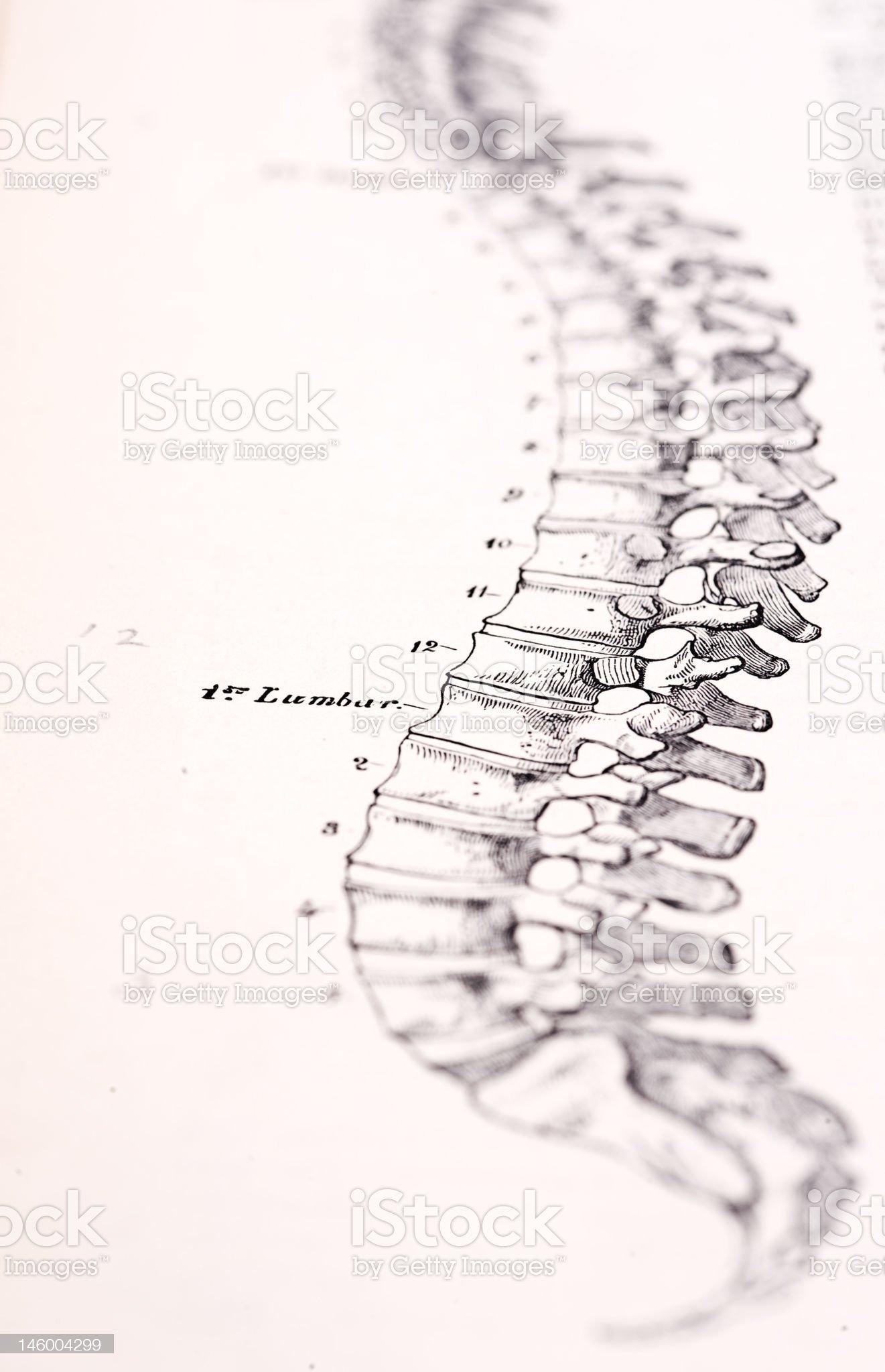 Antique Medical Illustration | Human Spine royalty-free stock photo