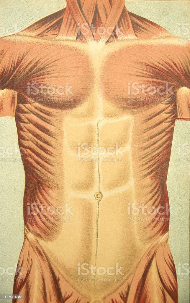 Antique Medical Illustration | Human thorax & muscles pop up book royalty-free stock photo