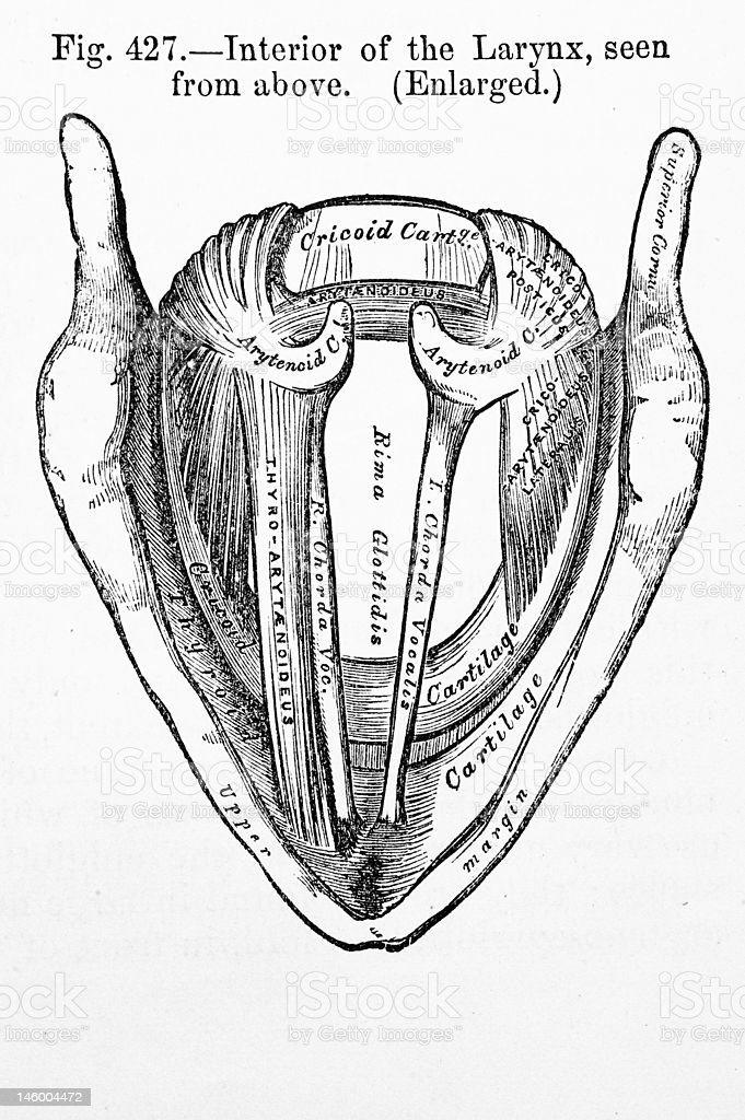 Antique Medical Illustration | Larynx stock photo