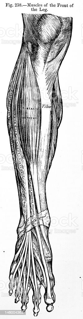 Antique Medical Illustration | Leg Muscles stock photo