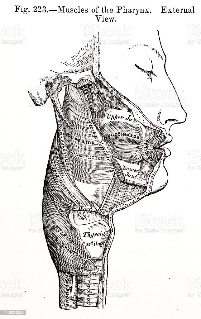 Antique Medical Illustrations | Human pharynx stock photo