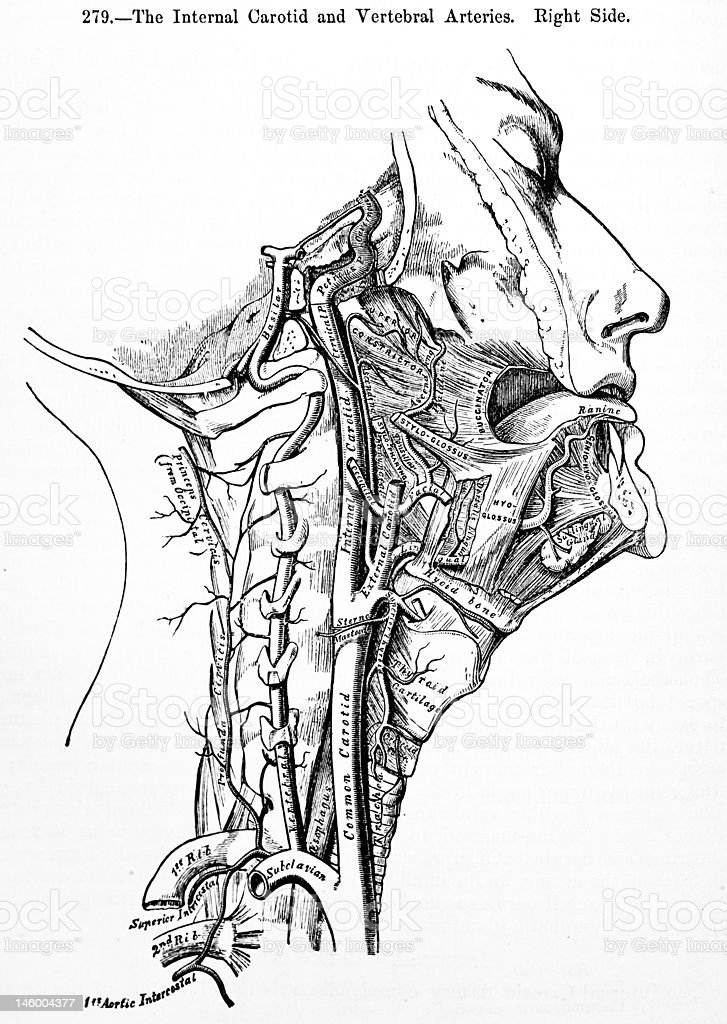 Antique Medical Illustrations | Vertebral Arteries royalty-free stock photo