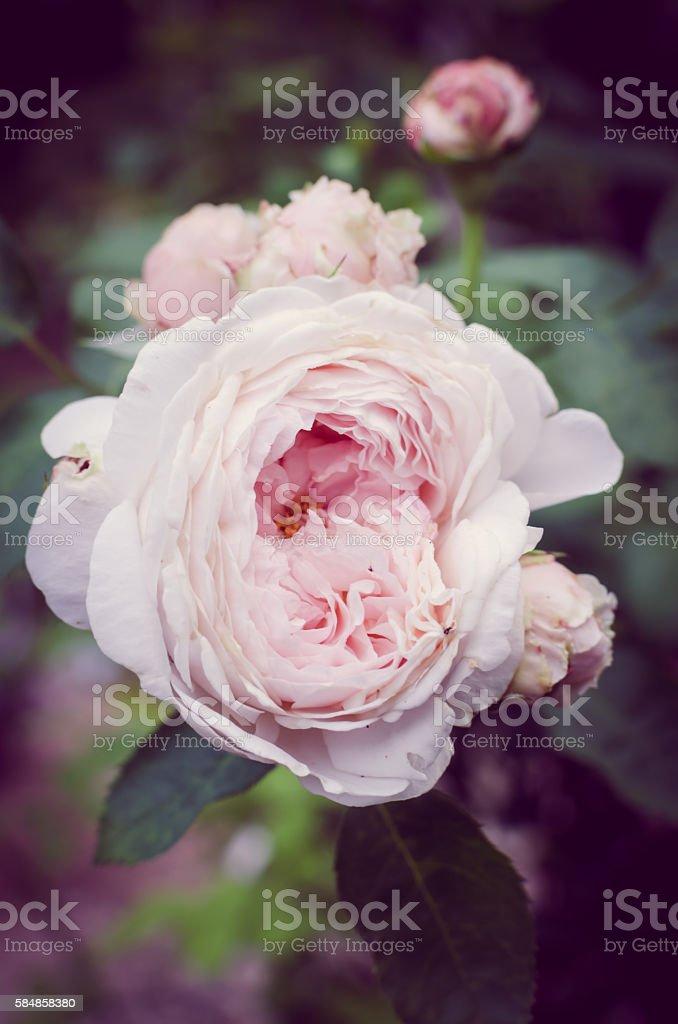 Antique Pink English Rose stock photo