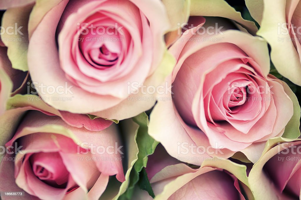 Antique Roses Full Frame Selective Focus stock photo