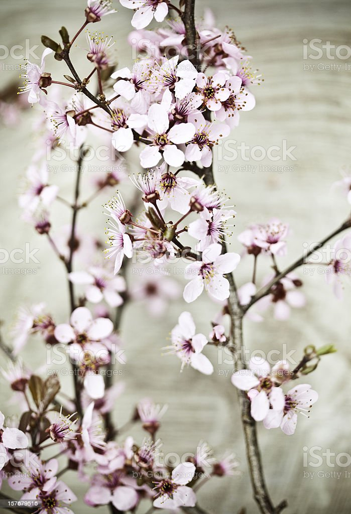 Antiqued Cherry Blossom royalty-free stock photo