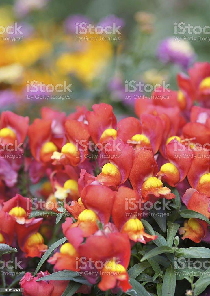 Antirrhinum majus flowers stock photo
