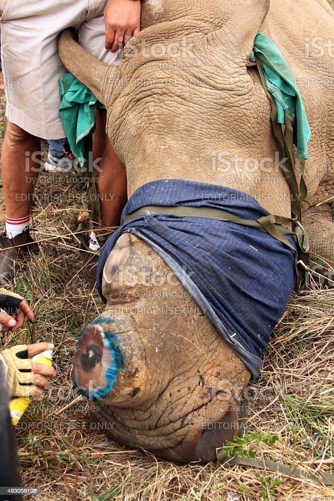 Antiseptic spray used  on horn remainder of dehorned rhino stock photo