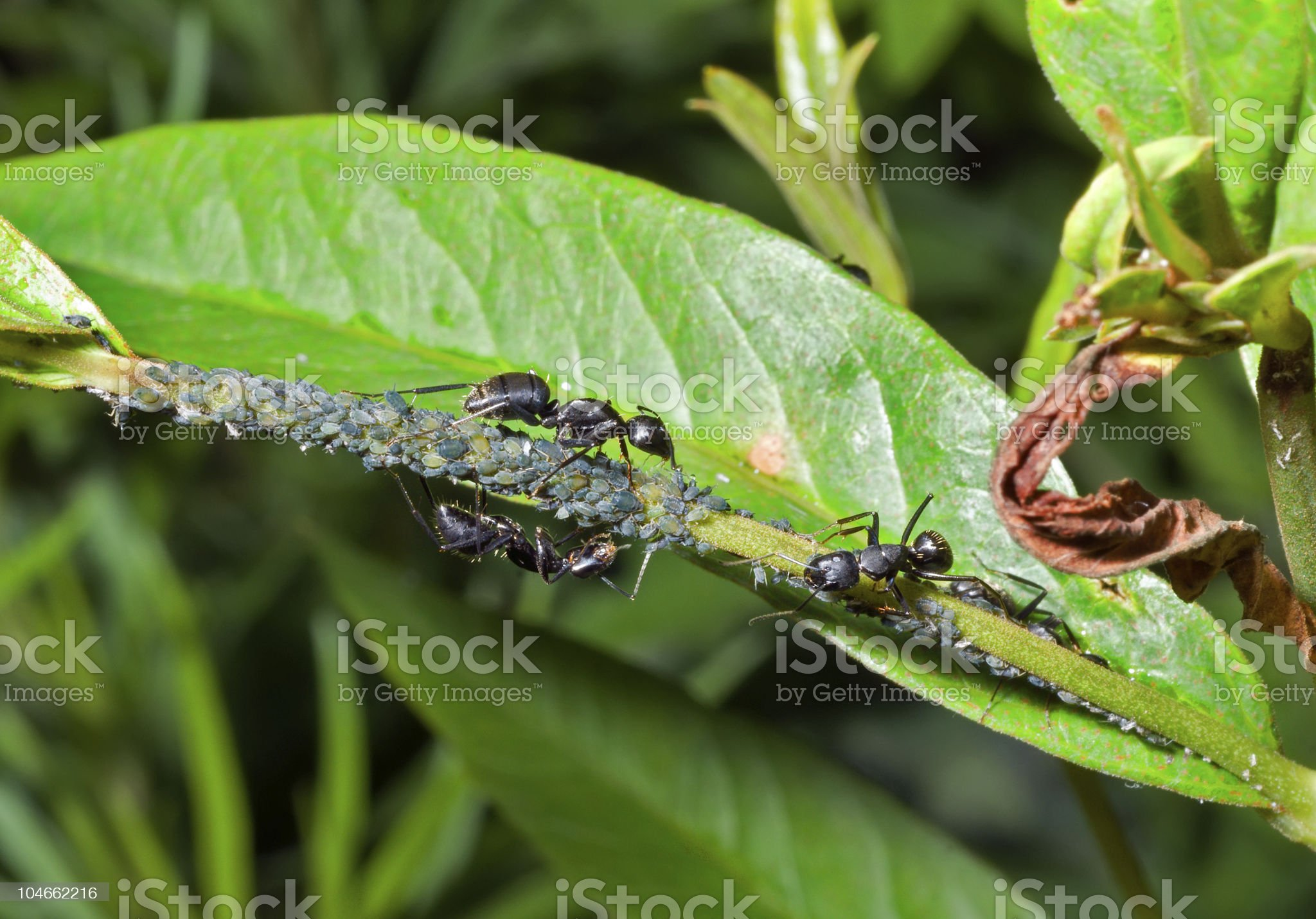 Ants and aphids royalty-free stock photo