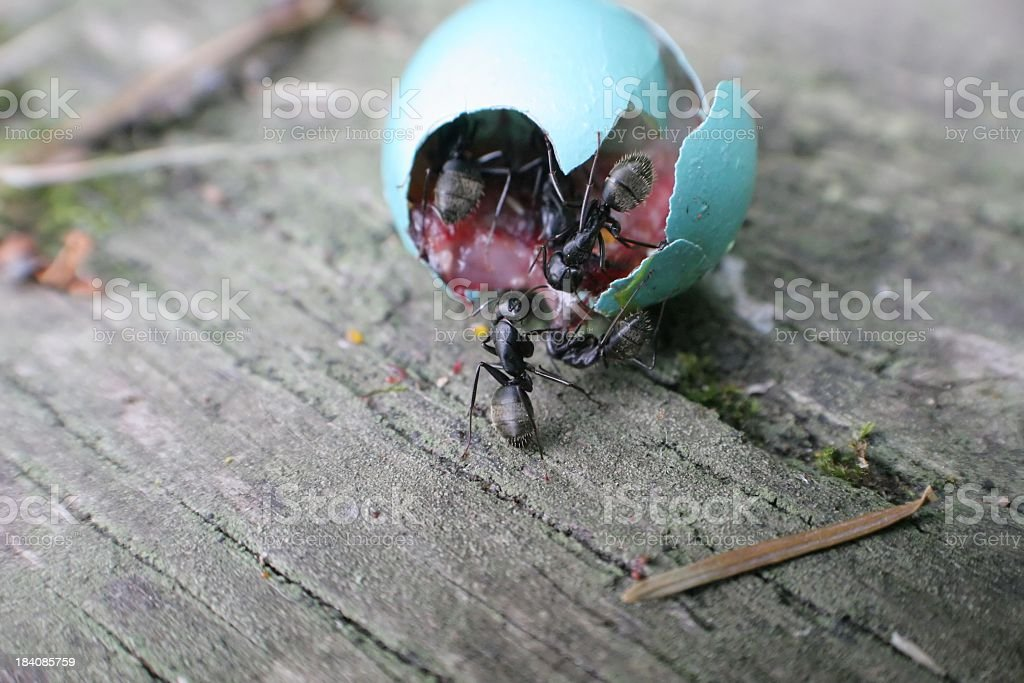 Ants and egg royalty-free stock photo