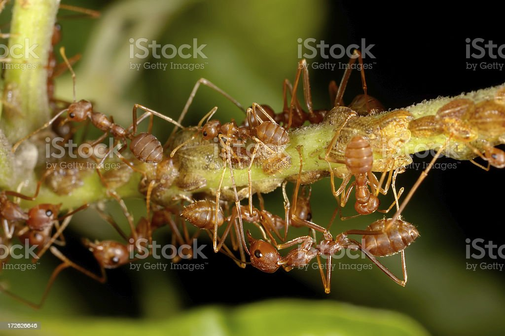 Ants and Scale Insects stock photo