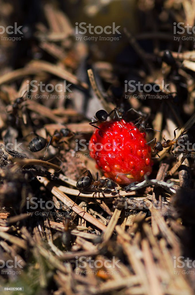 Ants and wild strawberry in an anthill stock photo