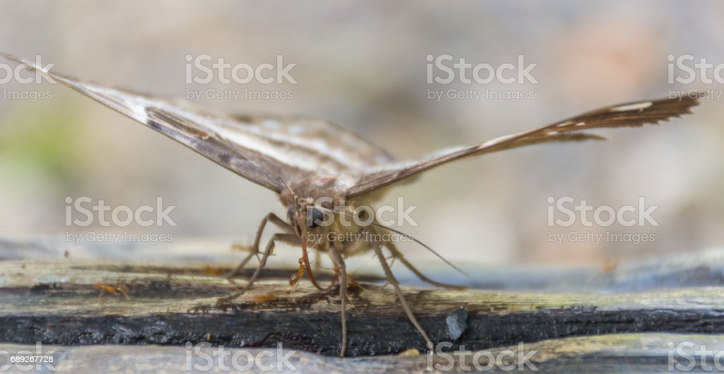 Ants are attacking a butterfly on the timber. stock photo