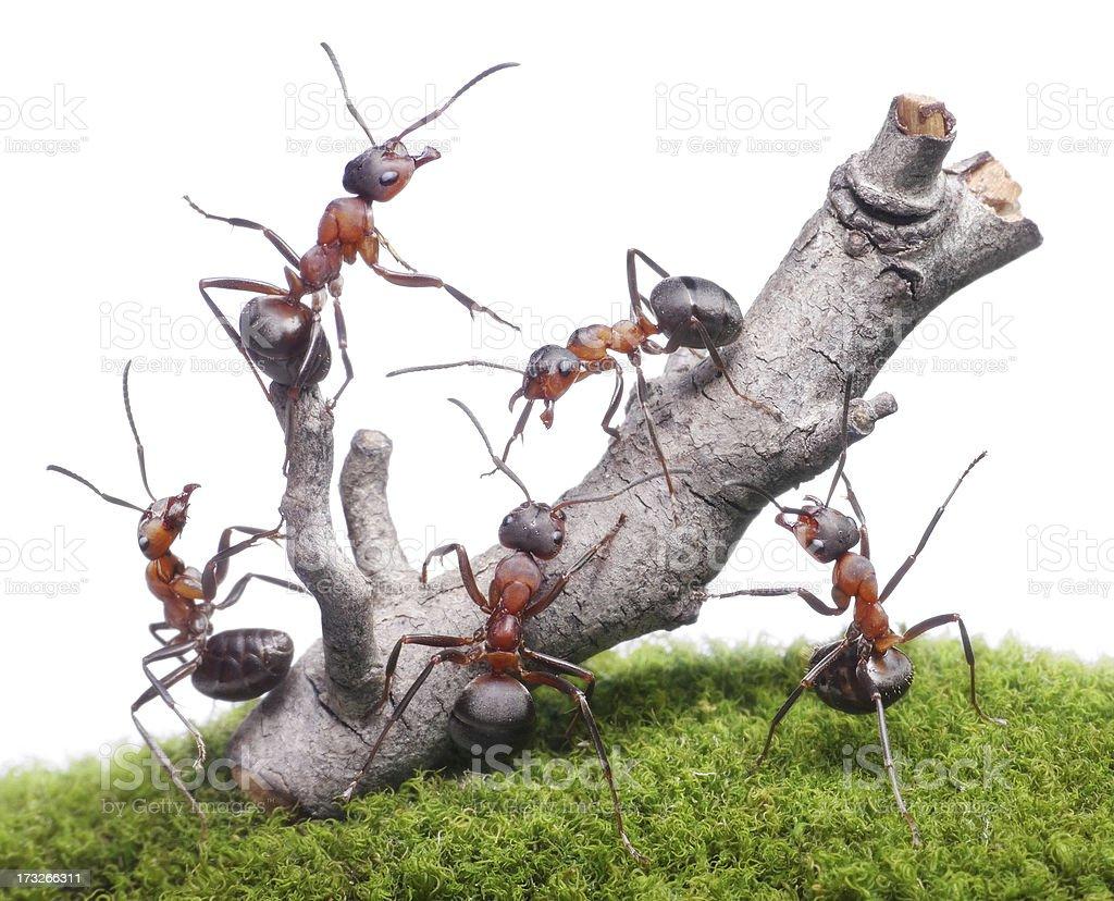 ants break down rusty tree, isolated stock photo