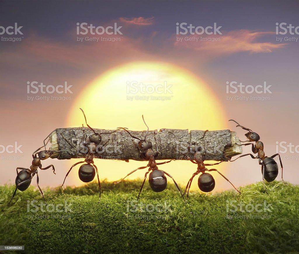 ants carry log on sunset, teamwork stock photo