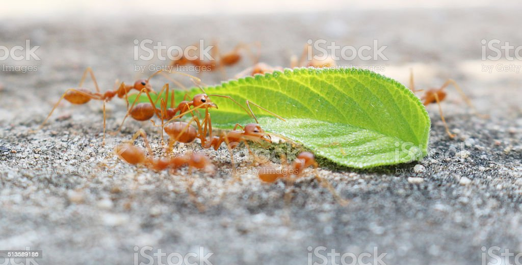 ants carrying leaf on concrete floor stock photo