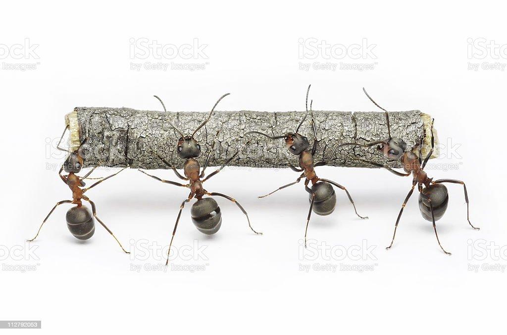 ants carrying log, teamwork stock photo