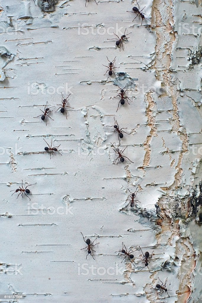 Ants climb together on the  birch. stock photo