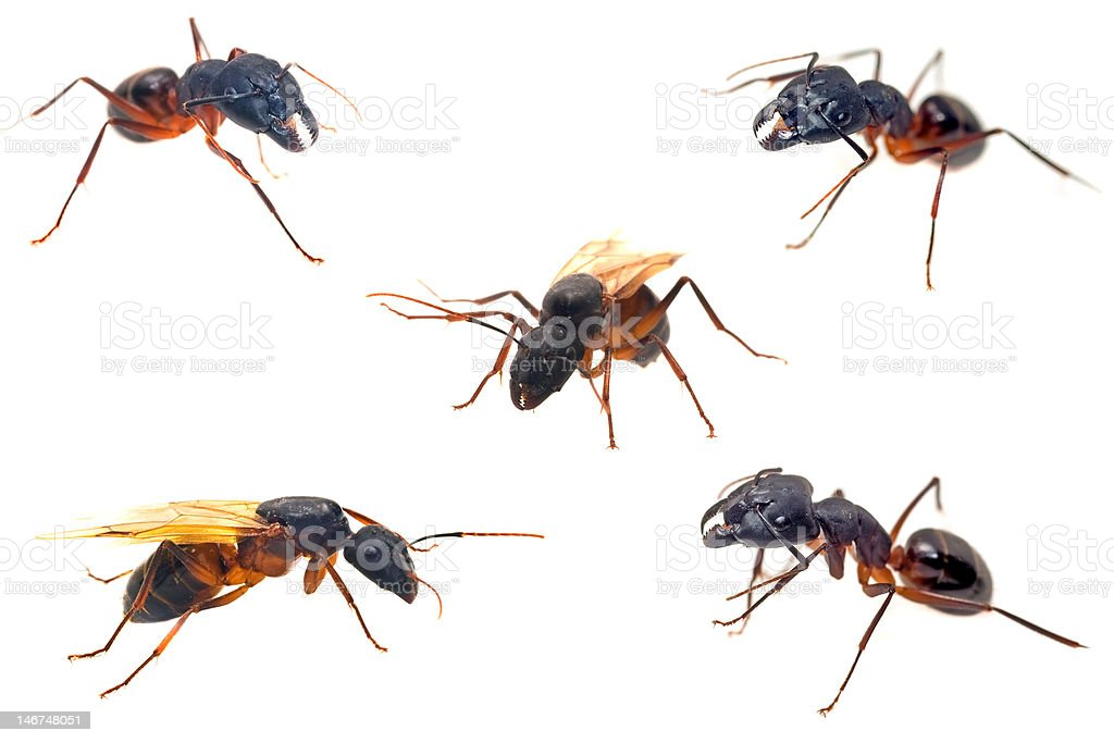 Ants close-up collections royalty-free stock photo