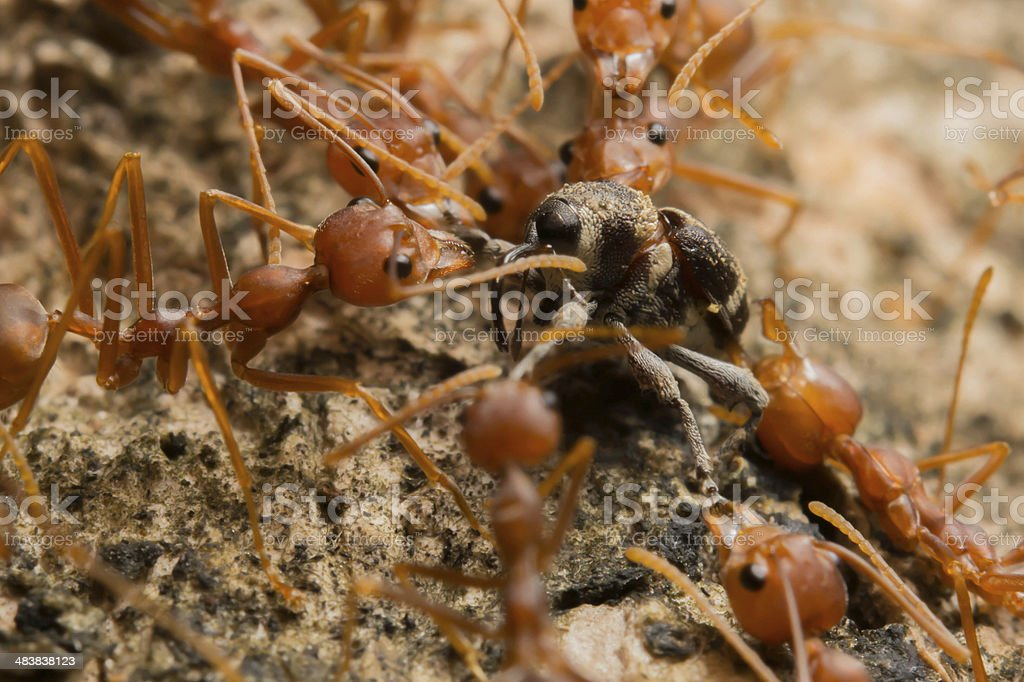 Ant's Competition royalty-free stock photo