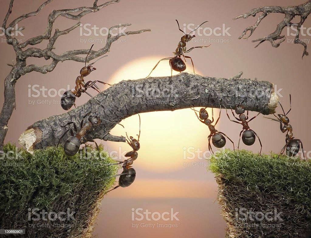 ants constructing bridge stock photo