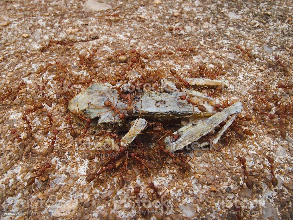 Ants eat dead frog stock photo