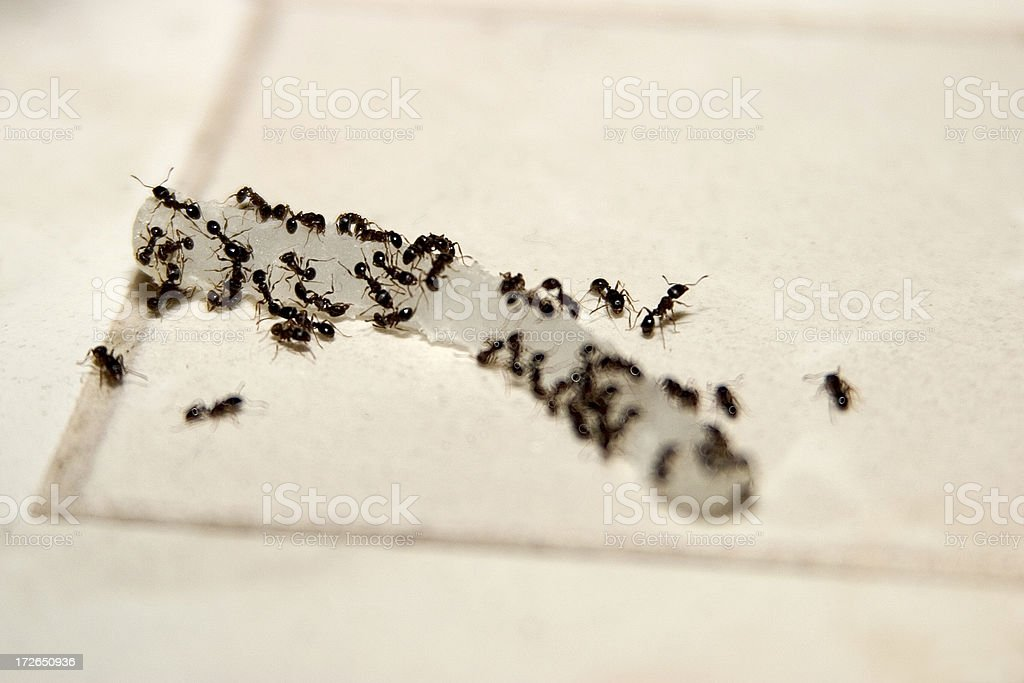 Ants eating onion stock photo