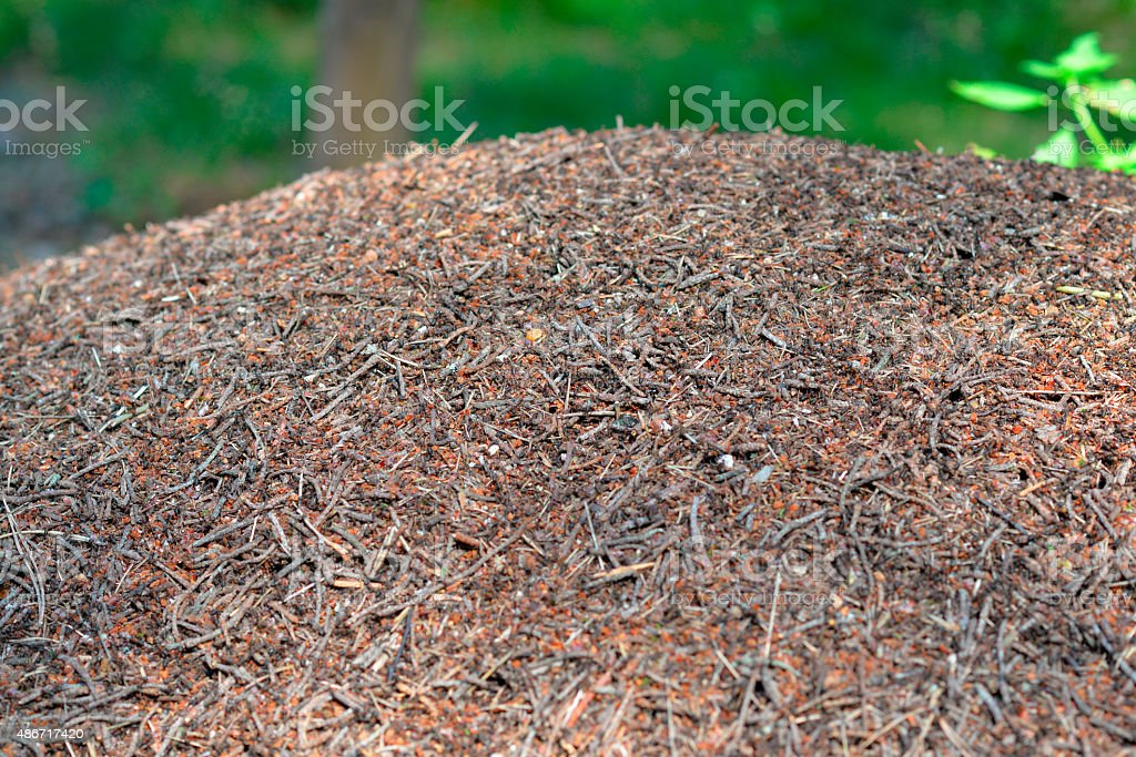 ants in an anthill in the woods stock photo