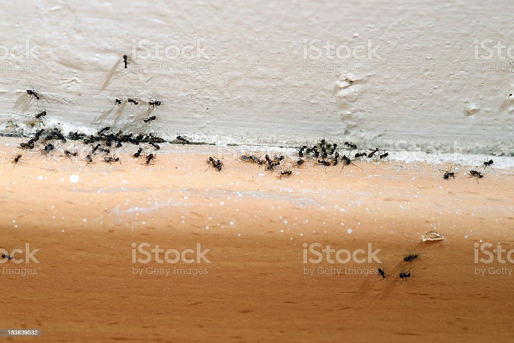 Ants in the House stock photo