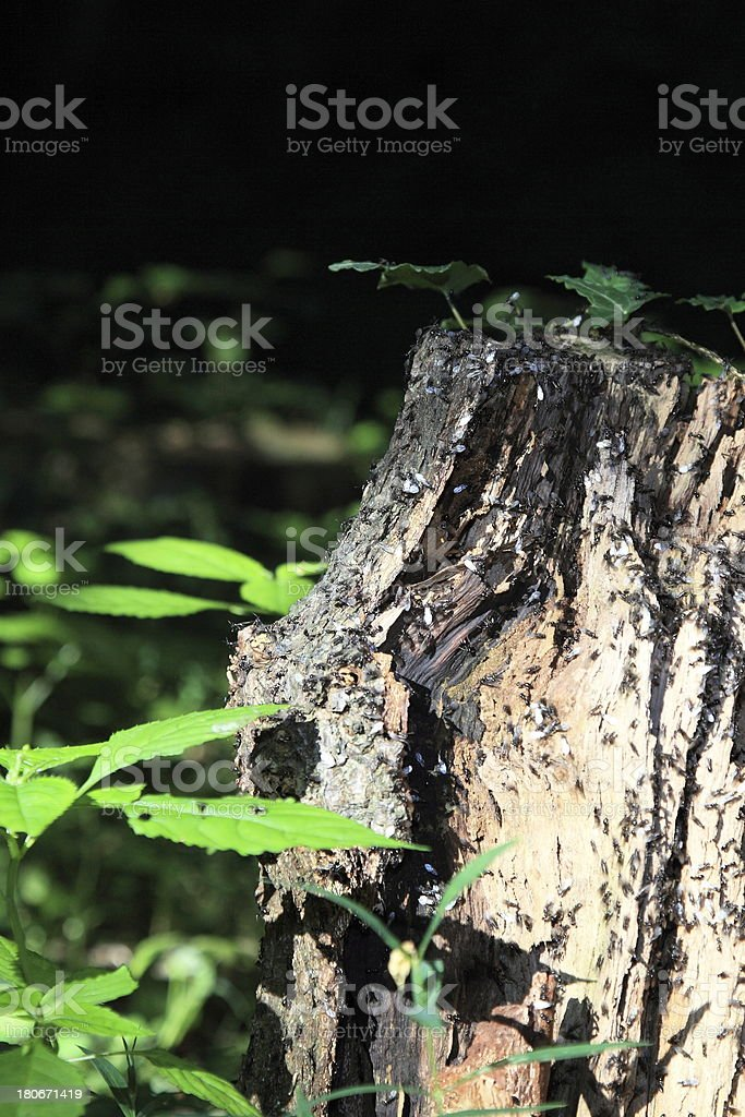 ants, lasius royalty-free stock photo