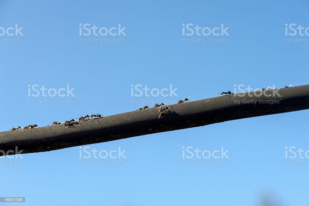 ants marching to the black lines royalty-free stock photo