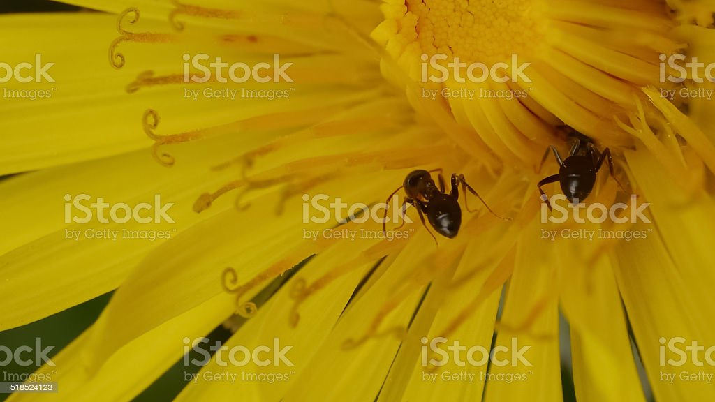 ants on a dandelion royalty-free stock photo