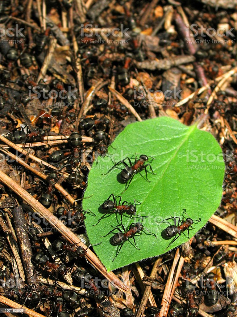 Ants on a leaf 2 royalty-free stock photo