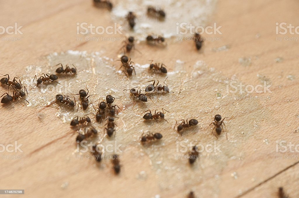 ants on floor eating poison royalty-free stock photo