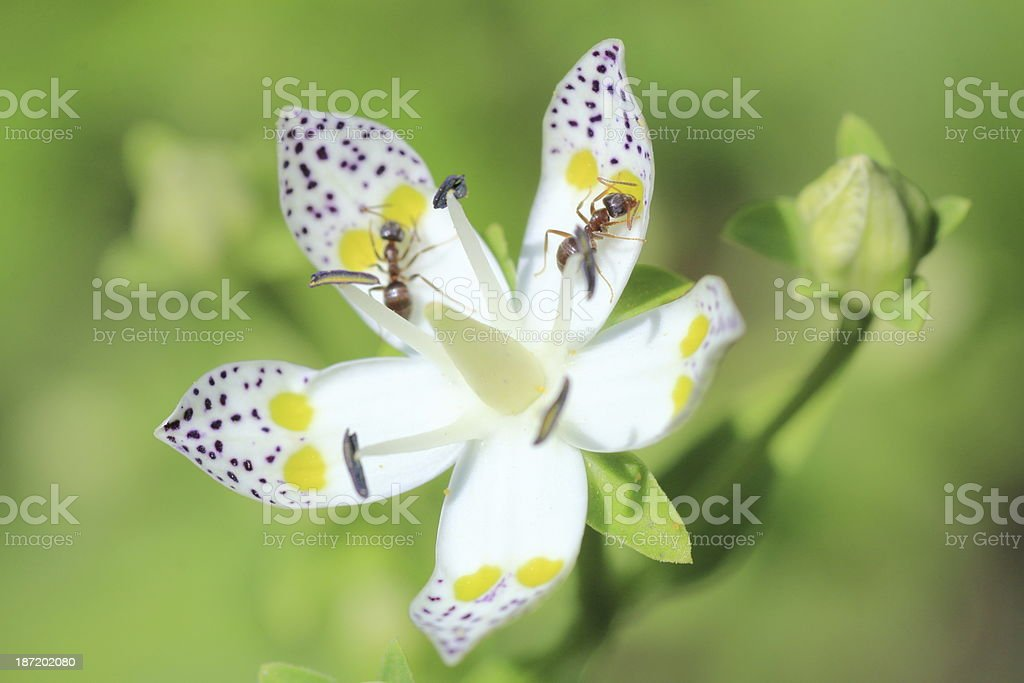 Ants on Swertia bimaculata flower stock photo