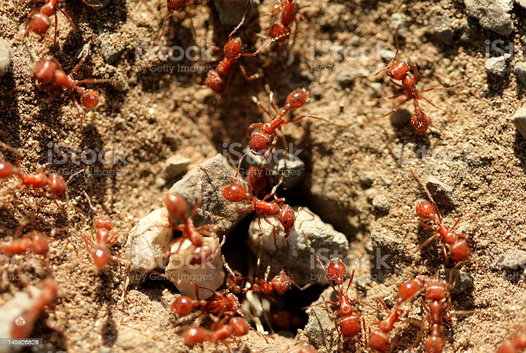 ants royalty-free stock photo