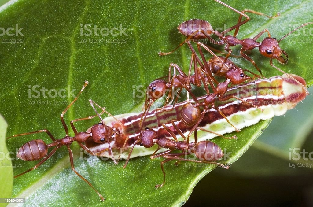 Ants Team Work royalty-free stock photo