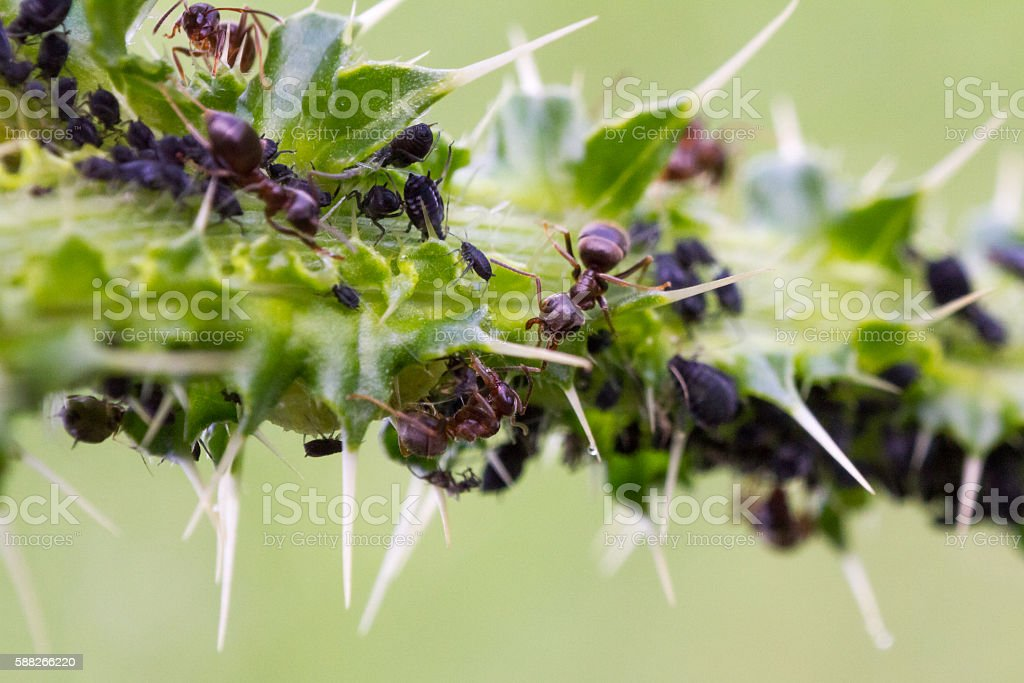 Ants with Aphid Colony stock photo