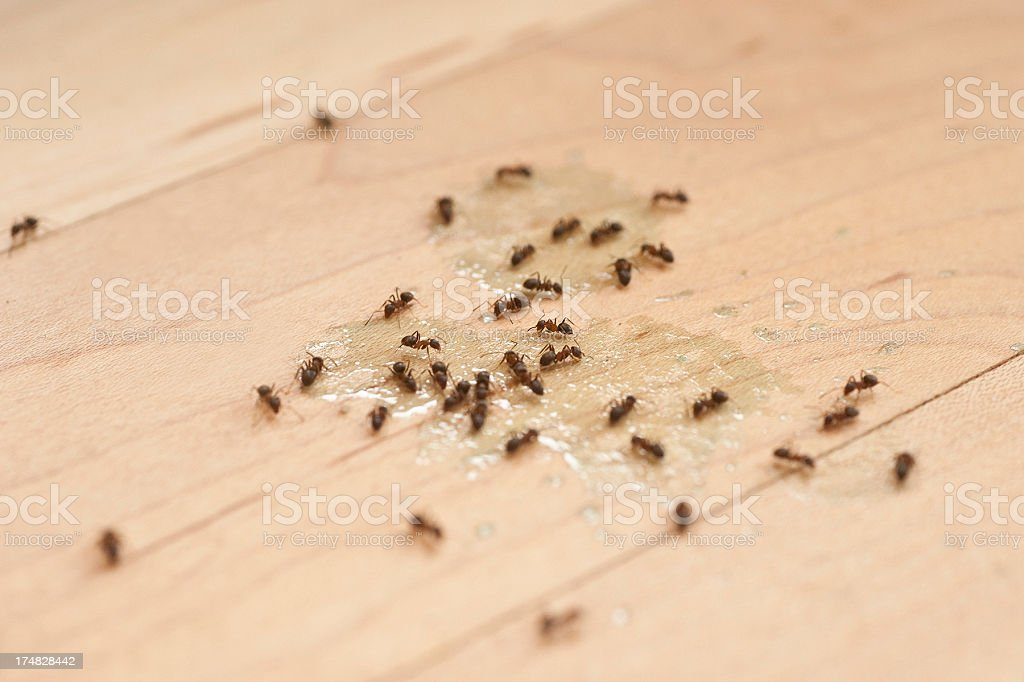 ants with insect poison royalty-free stock photo