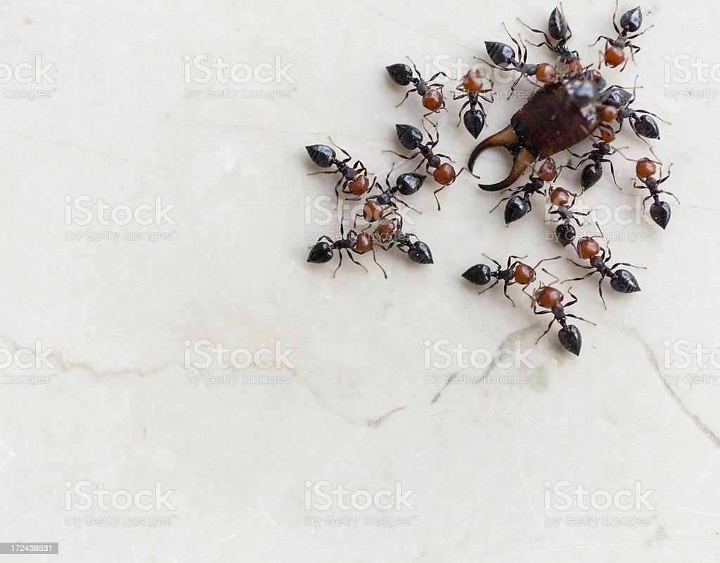 ants working on insects carcass with copy space royalty-free stock photo