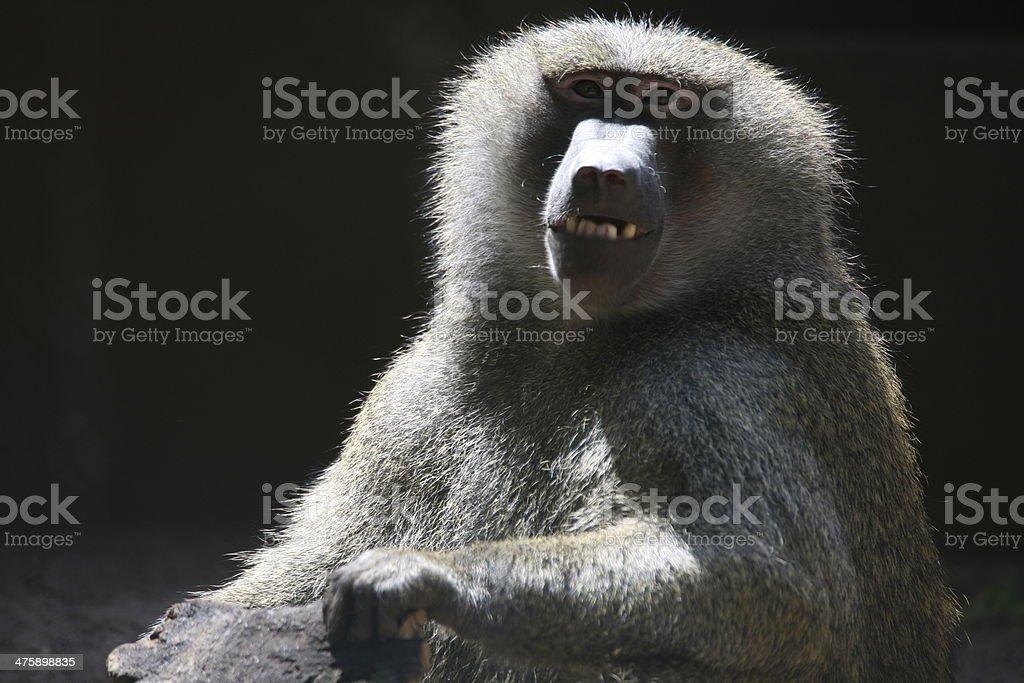 Anubis baboon stock photo
