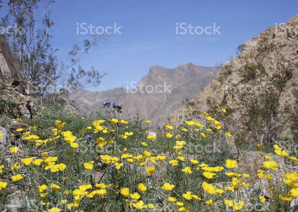 Anza Borrego California Desert Wildflowers royalty-free stock photo