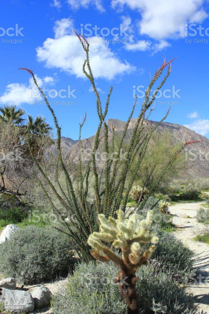 Anza Borrego Desert State Park Chollo and Ocotilla Cactus stock photo