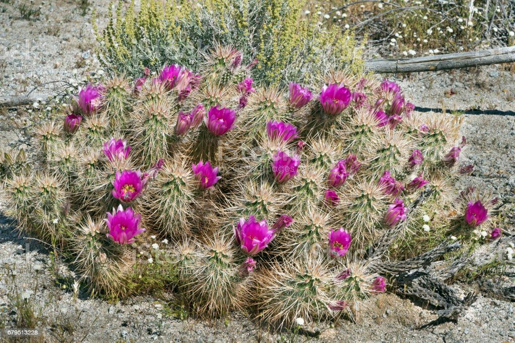 Anza-Borrego in Spring with a Large Blooming Hedgehog Cactus stock photo