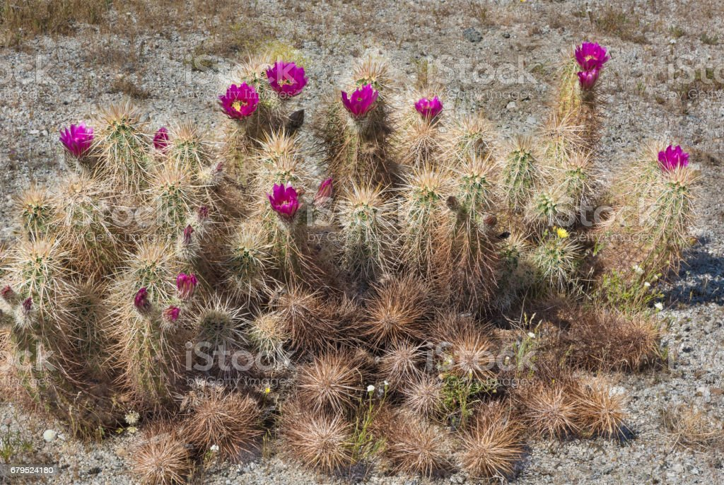 Anza-Borrego in Spring with a Robust Blooming Hedgehog Cactus stock photo