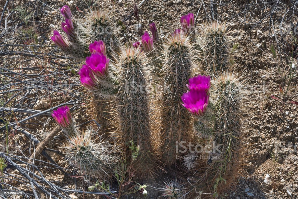 Anza-Borrego in Spring with a Tall Blooming Hedgehog Cactus stock photo