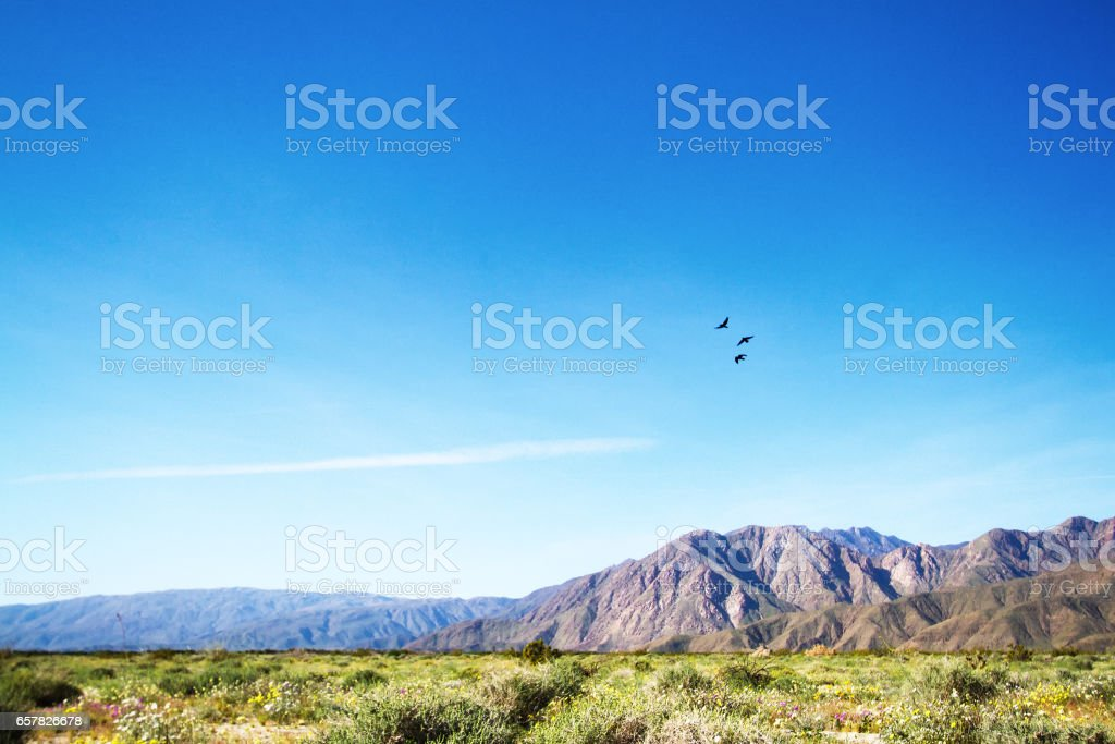 Anza-Borrego State Park: Wildflower Desert Bloom and Birds Flying stock photo