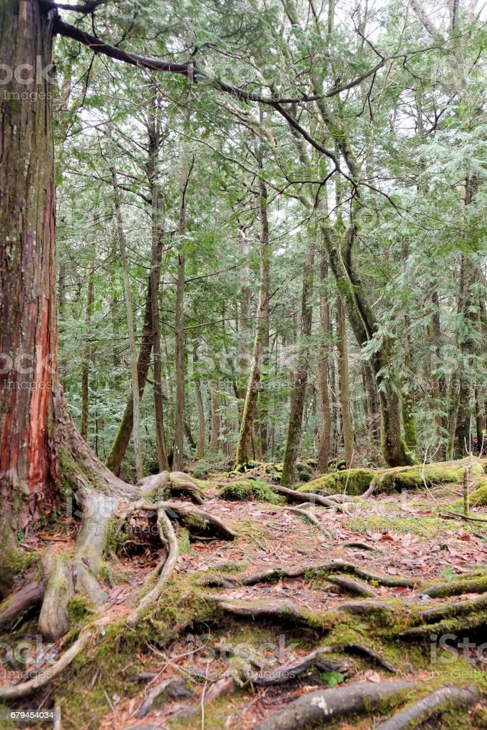 Aokigahara Forest stock photo