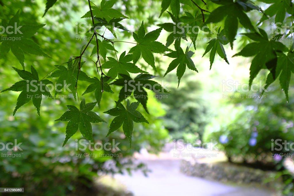 Aomomiji, Green leaves, Kyoto stock photo