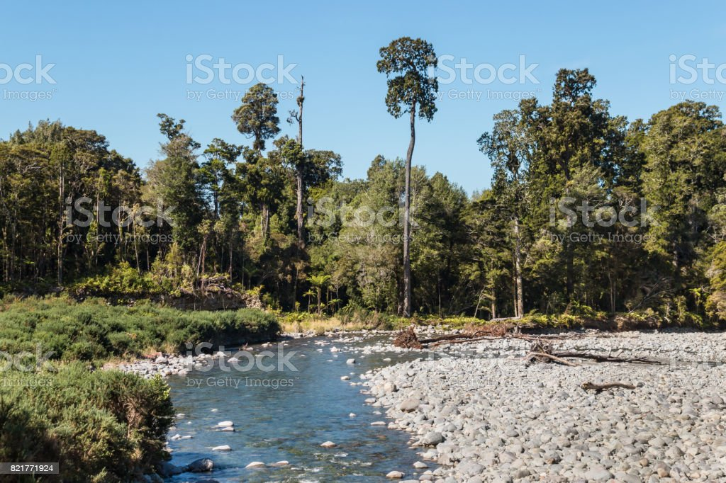 Aorere River with rimu trees in Kahurangi National Park stock photo